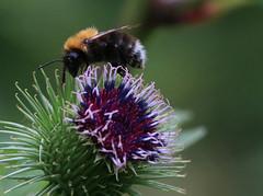BEE ON THISTLE (gazza294) Tags: flickr flicker flckr flkr garymargetts gazza294