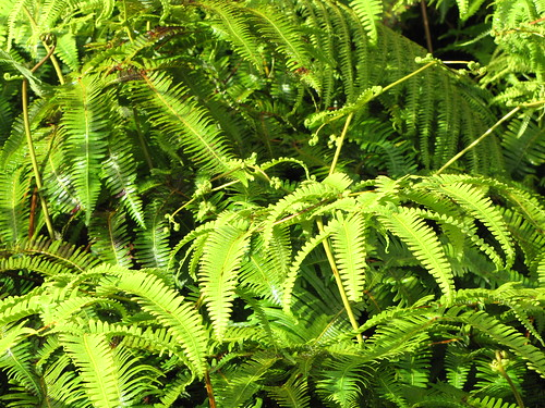 starr-091120-9875-Dicranopteris_linearis by Starr Environmental, on Flickr