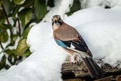 Eichelhher (Garrulus glandarius) (ulibrox) Tags: bird tiere jay outdoor vgel tier vogel garrulusglandarius rabenvogel eichelhher singvogel rabenvgel