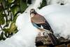 Eichelhäher (Garrulus glandarius) (ulibrox) Tags: bird tiere jay outdoor vögel tier vogel garrulusglandarius rabenvogel eichelhäher singvogel rabenvögel