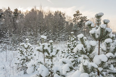 Winter Landscape In Snowy Forest (AudioClassic) Tags: snowflake christmas blue winter sunset sunlight snow cold tree ice nature pine forest outdoors photography estonia day branch nopeople christmastree falling fairy blizzard baretree glade firtree icecrystal tranquilscene beautyinnature nonurbanscene