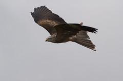 Black-Kite-5924 (Kulama) Tags: kite birds flight blackkite