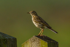 meadow pippit (colin 1957) Tags: birds meadow pippit