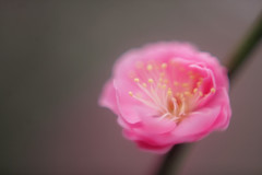 ume (_Count_Zero) Tags: ume umeblossoms