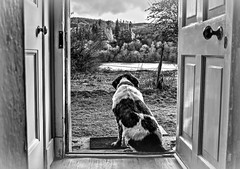 Mollie in Awe of the Loch (Missy Jussy) Tags: door trees sky bw dog holiday water monochrome grass canon mono scotland blackwhite view outdoor cottage indoor mat spaniel springerspaniel loch lochawe englishspringer holidaycottage cannon600d