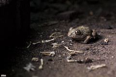 sleep and death - Overwintering - Ghosts in the cellar - Common Spadefoot, Knoblauchkröte, Pelobates fuscus @ Torgau, Zwethau 2016 (Jan Rillich) Tags: sun nature beauty animal fauna digital photography eos keller photo flora european foto fotografie jan wildlife ghost picture free sunny toad sachsen garlic common cellar torgau animalphotography anura amphibia spadefoot kellergeist beatutiful europäische spadefoottoad knoblauchkröte pelobatesfuscus froschlurch pelobates garlictoad janrillich rillich krötenfrösche schaufelfuskröte обыкновеннаячесночница