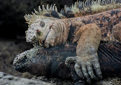 A Rocky Relationship (antonsrkn) Tags: wild santacruz beach animal animals female island lava nationalpark ecuador rocks reptile wildlife lizard galapagos relationship iguana scales mating valentines romantic behavior biology endemic reproduction herp biodiversity zoology herpetology vulnerable marineiguana cites scaly iucn hassi amblyrhynchuscristatus ethology amblyrhynchus