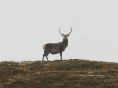 Deer Silhouette, Achnasheen, Highlands of Scotland, Feb 2016 (allanmaciver) Tags: snow look silhouette proud grey scotland highlands amazing day power estate style deer antlers stare elusive graceful allnmaciver