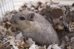 IMGP6202 (edmundrt) Tags: pet cute gerbil rodent pentax k100d pentaxk100d pentaxiansstandup