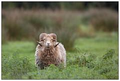 Skudde sheep - Skudde schaap (Ovis aries) (Martha de Jong-Lantink) Tags: belgi 2014 kalmthout ovisaries skudde fotohut skuddesheep glennvermeersch fotohutglennvermeerschkalmthout skuddeschaap