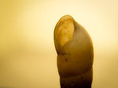 Golden Shell (Moises Caballero Lopez) Tags: light naturaleza macro luz nature golden empty shell snail olympus caracola omd dorado f60 hueco vaco 43mm 1250mm em5 mzuiko olympusomdem5 olympusmzuikodigital1250mm13563ezedmsc mcaballero