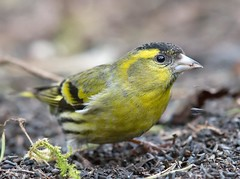 Eurasian siskin - male - (Spinus spinus) (Carl Haslam) Tags: elements