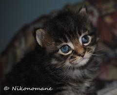 Lucifero (3) (Nikonomane) Tags: black cute cat lucifer kitten blu kitty evil gato piccolo gatto nero pelo diavolo gattino teufel lucifero lungo