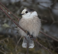 Gray Jay (sspike@rogers.com) Tags: winter ontario nature algonquin steverossi greyjay 5dsr