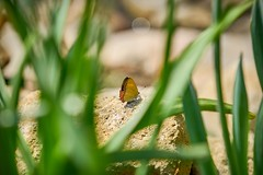 / Beautiful Things Don't Ask For Attention. () Tags: macro green nature beauty leaves closeup yard butterfly garden insect outdoors bokeh g sony australia insects grace dreamy     70200mm glens    lycaenidae      fe70200mmf4g