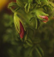 Passion (carmenvillar100) Tags: flower macro 50mm desenfoque pasion capullos selectivo anilloinversor inversering floradelesillesbalears floressilvestresdeibiza camvelldesantmateu ssion florsinnombre