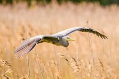 Heron (Lee532) Tags: life uk wild heron nature grey nikon tamron avian d610 150600mm