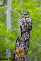 GG16 (Sam Parks Photography) Tags: trees wild summer usa bird nature animal forest rockies spring wings woods nps wildlife unitedstatesofamerica ghost feathers meadow aves raptor northamerica rockymountains wyoming greatgrayowl phantom predator carnivorous naturalworld jacksonhole avian tetonrange parkservice strigiformes grandtetonnationalpark predatory strixnebulosa gye mountainous carnivora strigidae gtnp verticalorientation greateryellowstoneecosystem carniore