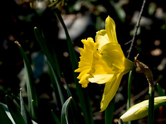 Lunch Time Walk (cotarr) Tags: leica flowers yellow daffodil wpp cameraraw topazdenoise topazdetail vlux114 cc2015