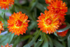 Red balls of fire (Pensive glance) Tags: plant flower nature fleur plante aster everlasting immortelle