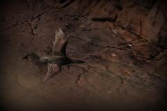 Shag in flight (milnefaefife) Tags: bird nature birds coast scotland highlands rocks wildlife cliffs shag shags stoer assynt northwesthighlands pointofstoer raffin stoerhead stoerlighthouse