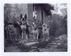 chronologically arranged (EllenJo) Tags: blackandwhite bw pets house simon home dogs yard polaroid four ivan historic hazel expired floyd bungalow brickhouse landcamera packfilm colorpack instantfilm fromtheground builtin1914 polaroidweek polaroid667 3000speed tailwagging colorpack3 clarkdalearizona bornin2003 bornin2004 bornin2011 bornin2013 olddogsandyoungdogs littledoglaughednoiret partofharrison savepackfilm ahintofharrison