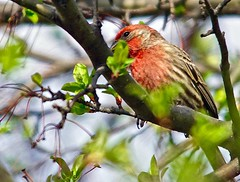 Red & Green (Scott M. Mohn) Tags: red green nature birds animals spring outdoor wildlife sony finch songbird trres ilca77m2