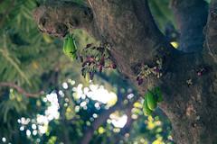 Belimbing Wuluh (HaritsGraphic) Tags: green fruit bokeh acid