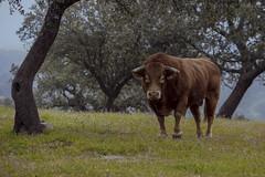 Corre mientras puedas - Run while you can (abel.maestro) Tags: wild espaa sevilla bravo europa wildlife bull andalucia maestro abel toro 34 corre dehesa