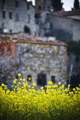 I'm just mad about saffron (S. Hemiolia) Tags: yellow zeiss country hills 180 giallo tuscany olympia dxo toscana borgo manualfocus f28 colline collina arezzo valdarno sonnar 180mm cipressi cennina d700 valdambra
