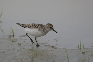 Semipalmated Sandpiper - Calidris pusilla - Hamilton County, Ohio, USA - May 20, 2005