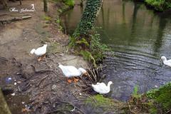 Oca (Patty Portonovo) Tags: espaa canon spain agua galicia ave pico pelo pata oca plumas ansar barosa anade eos700d pattyportonovo