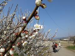 16i5487 (kimagurenote) Tags: apricot ume 梅 japaneseapricot ウメ prunusmume sogabairin 曽我梅林 神奈川県小田原市 odawarakanagawa