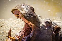 Spain - Malaga - Estepona - Hippo (Marcial Bernabeu) Tags: espaa andaluca spain andalucia hippo hippopotamus andalusia malaga estepona mlaga bernabeu hipopotamo marcial bernabu hippopotamusamphibius hipoptamo