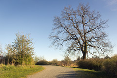 the trail home (kevin.boyd) Tags: blue sky tree spring bare branches trail tall gravel colquitz