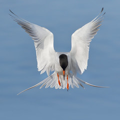 Hovering! (bmse) Tags: canon l f56 tern hovering salah bolsachica 400mm forsters wingsinmotion 7d2 bmse baazizi