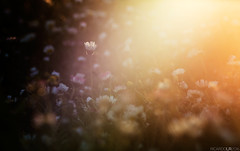 (Photographordie) Tags: light sunset macro luz daisies pen atardecer glow bokeh olympus daisy 90mm vivitar margaritas bokina microfourthirds microcuatrotercios vivitarseries1macro90mmf25 epm2 olympuspenepm2