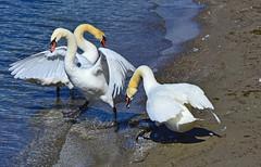 Agitation chez les cygnes (Diegojack) Tags: nikon eau animation lman cygnes oiseaux prverenges nikonpassion animalires d7200