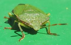 Green shieldbug - Palomena prasina (John Steedman) Tags: uk greatbritain england london insect unitedkingdom shieldbug grossbritannien     grandebretagne palomenaprasina greenshieldbug