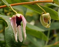 Dwarf Pawpaw (Asimina pygmea) (Mary Keim) Tags: centralflorida floridanativewildflowers lakeapopkanorthshorerestorationarea marykeim taxonomy:binomial=asiminapygmea