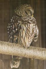 DUC_2510r (crobart) Tags: bird birds florida center owl prey raptors barred audubon maitland
