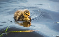 A Little Calm Baby in Big Waves (   (Thank you, my friends, Adam!) Tags: flower macro cute art beauty closeup lens photography nikon gallery waves photographer florida wildlife fine central duckling telephoto excellent dslr curve