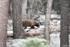 Yosemite - CA (Thiago Barreto Braga) Tags: california bear brazil usa yosemite urso 70200mm yosemit canon70d