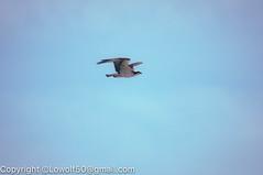 _DSC4790.jpg (orig_lowolf) Tags: usa dog nature oregon nikon flickr osprey lakeoswego turkeyvulture d300s sigma150500mmf563afapodgoshsmtelephotozoom