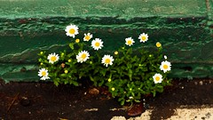 Gutter Flowers (cacheboyz) Tags: california county city amador masking luminosity