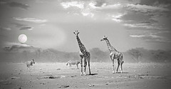 Dust storm and giraffes (paulafrenchp) Tags: