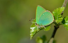 Green Hairstreak (Callophrys rubi). (Bob Eade) Tags: macro green woodland insect spring butterflies lepidoptera micro eastsussex hairstreak greenhairstreak callophrysrubi abbottswood nikond610