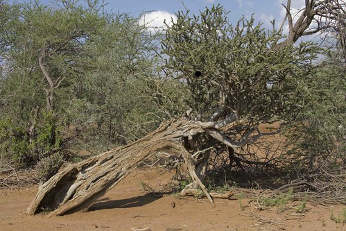 Boscia albirtunca, Shepherd's Tree, Witgat, Black RhinoPrivate Reserve.