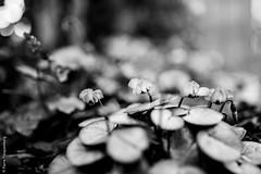 Tristesse printanire 3 (Pierre Fauquemberg) Tags: blackandwhite bw nature fleurs nikon noir noiretblanc sigma sombre printemps spleen plantes tristesse douleur lesfleursdumal phmre monotonie sigma35mmart sigmaart35mm14 pierrefauquemberg