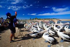 LR-160316-025.jpg (Finert) Tags: theentrance friendlyflickr pelicanfeeding 160316